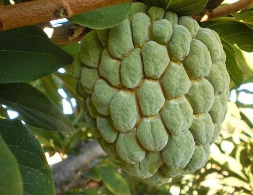 sementes de pinha gigante verdadeira - annona fruta de conde