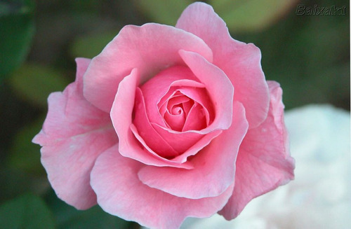 sementes de rosas - cor de  frete grátis