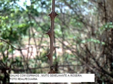 sementes de sansão do campo (500 gr) +  5 bandejas p/ mudas
