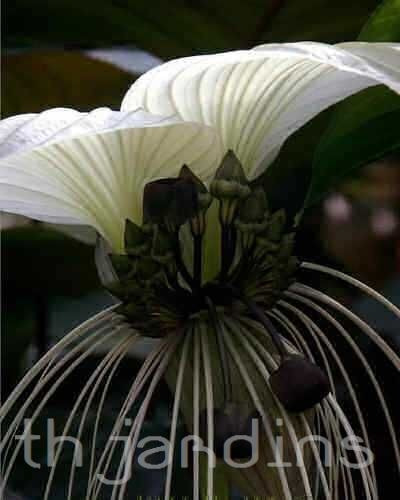 sementes de tacca branca - tacca nivea - bonsai mudas bulbos