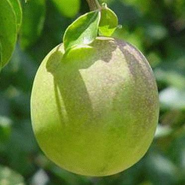 sementes de umbu gigante - panc fruta árvore do umbuzeiro