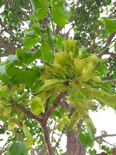sementes de ypê verde! (frete grátis)
