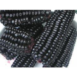 sementes do  milho peruano maiz morado - sensacional - roxo