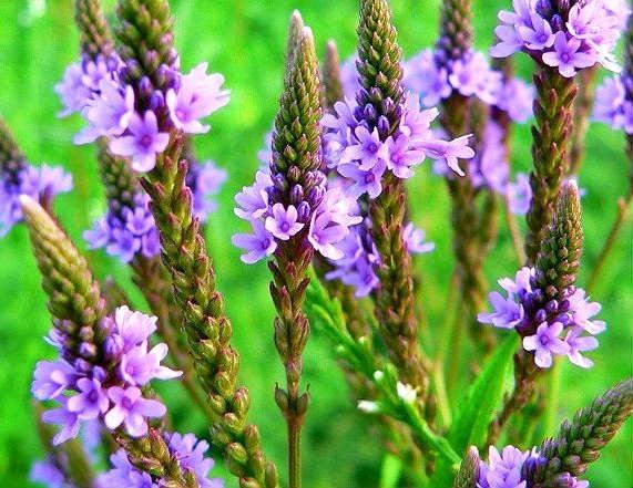 Sementes Erva Santa Verbena Officinalis Medicinal P/ Mudas ...