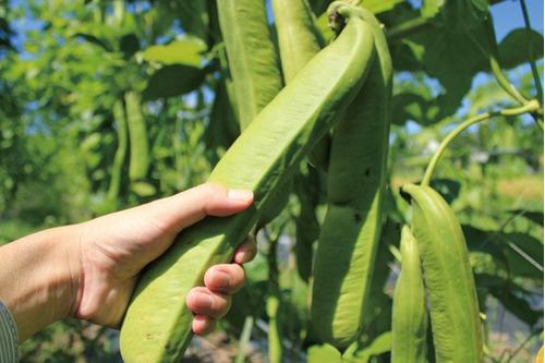 sementes feijão espada canevalia gladiata, o maior do mundo!