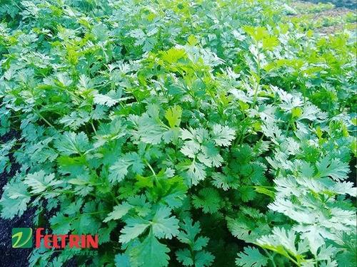 sementes feltrin - coentro verdão - 500g