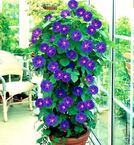 Sementes Flor Gl 243 Ria Da Manh 227 Ipomea Purpurea