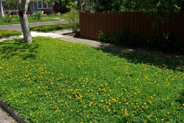 Grama Amendoim Forrageiro De Jardim Sementes Flor Para