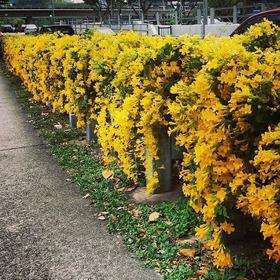Sementes Flor Trepadeira Unha De Gato Alambrado P/ Mudas