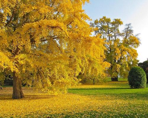 sementes ginkgo biloba - arvore sagrada para mudas e bonsai