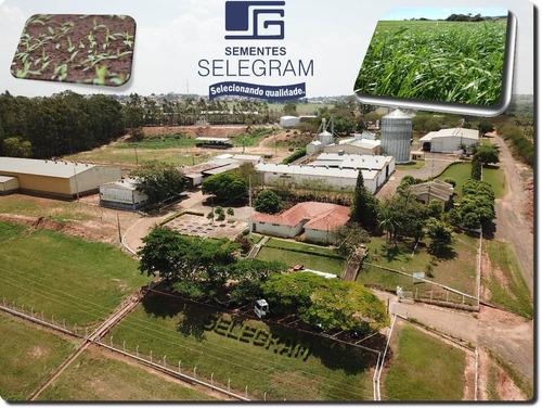 sementes grama mato grosso batatais 10kg 95% pura protegida