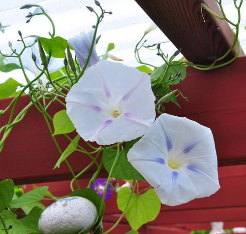 sementes ipomoea trepadeira glória da manha milky way p/muda