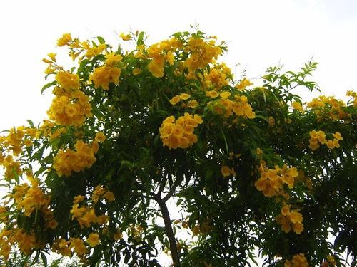 sementes ipêzinho ipê mirim anão de jardim flor mudas vaso