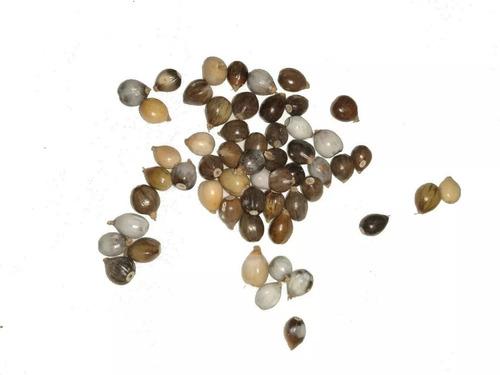 sementes lagrimas de nossa senhora 1kg 1000g natural