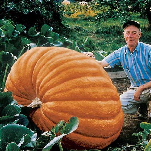 sementes *legitimas abobora gigante dills atlantic guinness