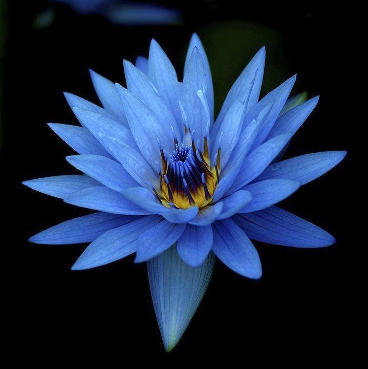 sementes lotus azul sagrado nymphaea caerulea etno p mudas r 14