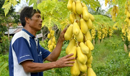 sementes mamão tailandês anão golden - da fruta com 1 metro!