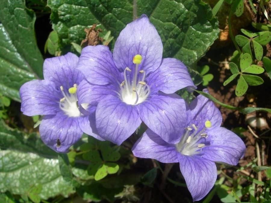 Resultado de imagem para Mandrágora flor