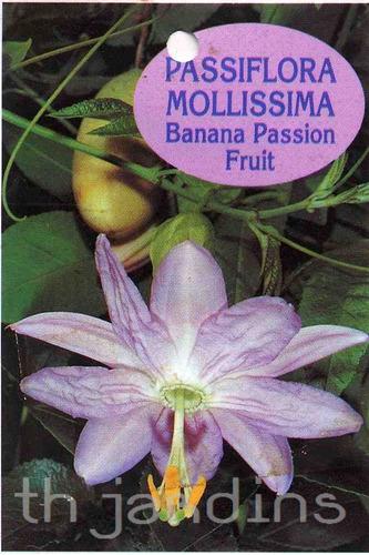sementes maracuja banana passiflora mollissima  verdadeiro