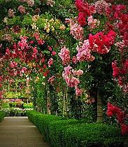 sementes- mix de rosas trepadeira