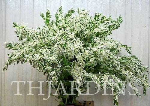 sementes neve da montanha variegata anão