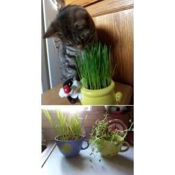 sementes orgânicas de grama dos gatos