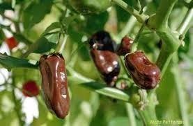 sementes pimenta habanero chocolate frete grátis carta simpl