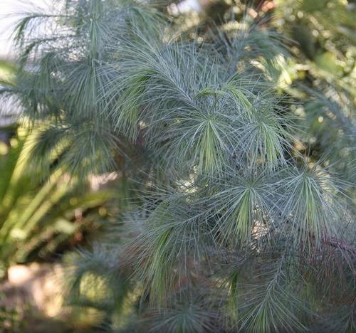 sementes pinhão gigante - pinhão martinez, pinhão gigante