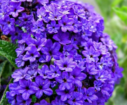 sementes raras heliotrope marine blue flor muito perfumada!
