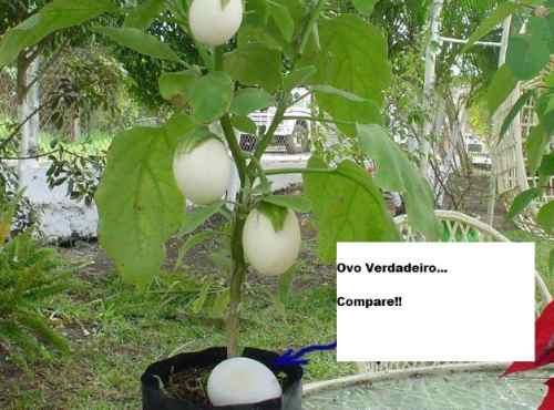 sementes raras, planta de ovos - jardim mudas ornamentais