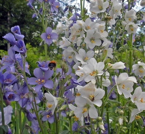 sementes valeriana grega branca flor melífera erva p /mudas