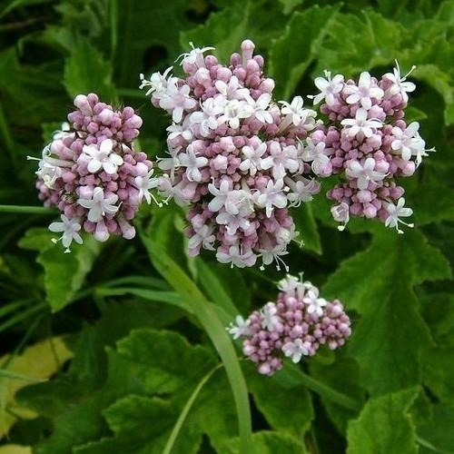 Sementes Valleriana Officinalis Erva Medicinal Valeriana - R$ 14 ...