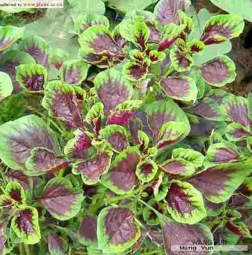 semilla amaranto semillas hortalizas raras 20 unidades
