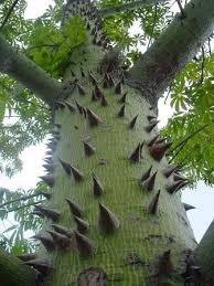 Resultado de imagen para árbol Ceiba Pentandra