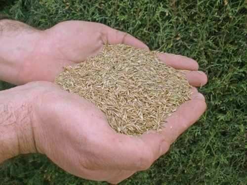 semilla cesped natural  alfombra  costa oriente