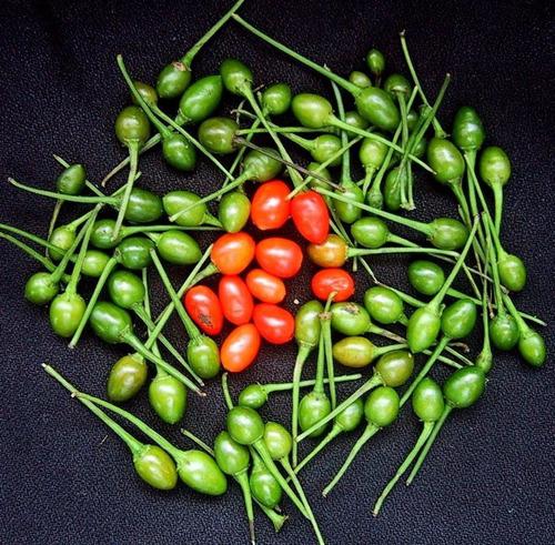semilla chiltepin 100 gramos envío gratis!!!