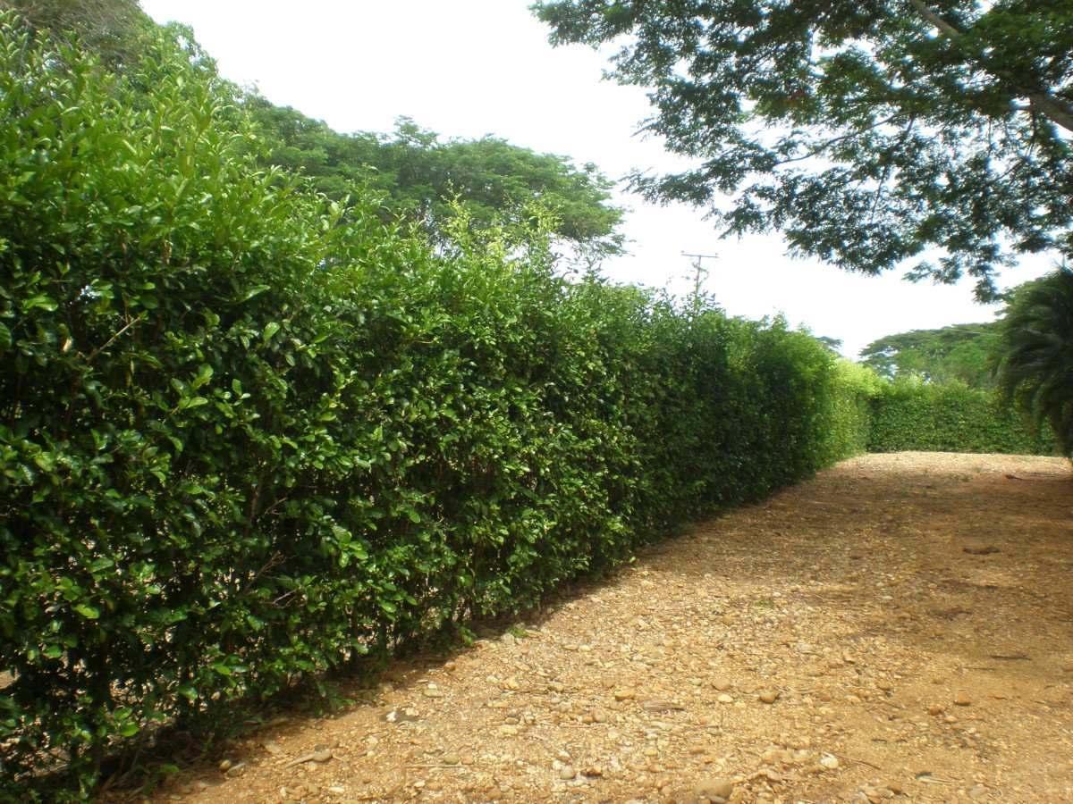 Semilla de limon swinglea para cercas vivas en - Plantas para hacer setos ...