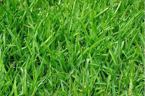 semilla de pasto césped 1 kg 25m2 sol y sombra olimpic