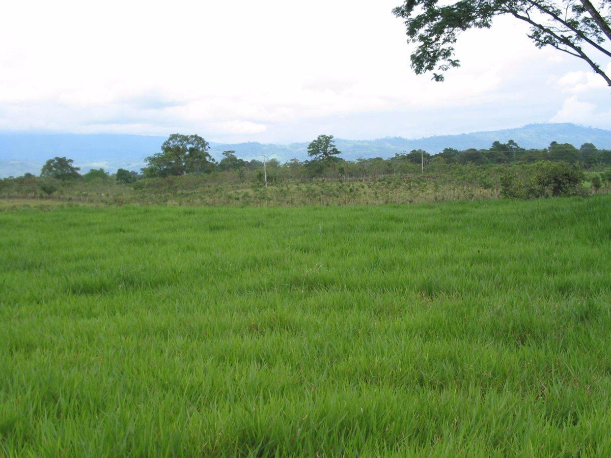 Semilla de pasto se al pasto decumbens pasto chontalpo - Semillas de cesped para jardin ...
