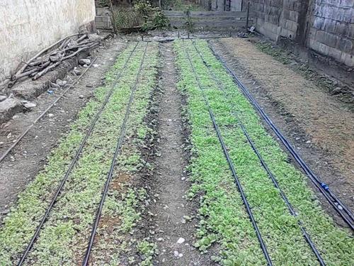 semilla de tabaco de muy buena calidad 99% de germinación