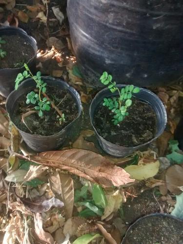 semilla de toromiro -  arbol extinto  isla de pascua