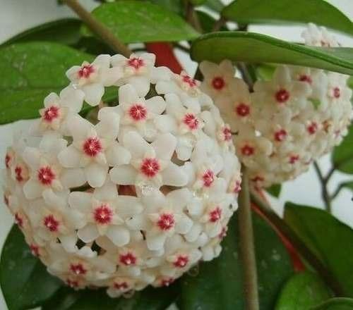 semilla hoya carnosa flor de cera surtidas 10 semillas
