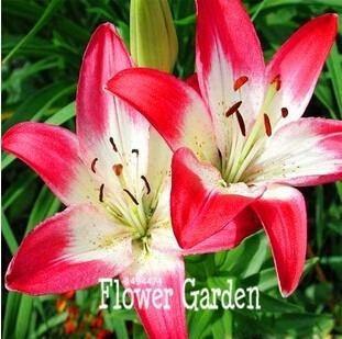 semilla lirio azucena lilium flores raras 10 semillas varios