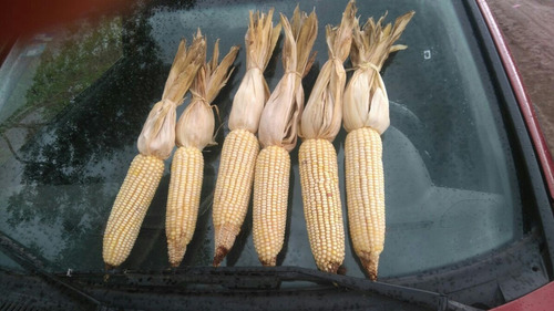 semilla maiz blanco 9105w saco 60mil semillas c/cruiser