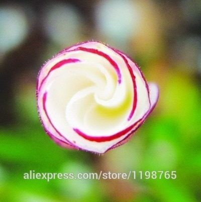 semilla oxalis multicolor flores raras 10 semillas
