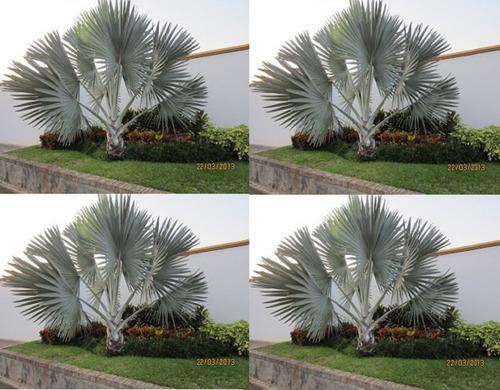 semilla palma bismarckia nobilis azul jardín plateada patio