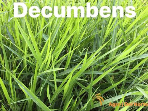semilla pasto brachiaria decumbens 5 kilos + envío gratis