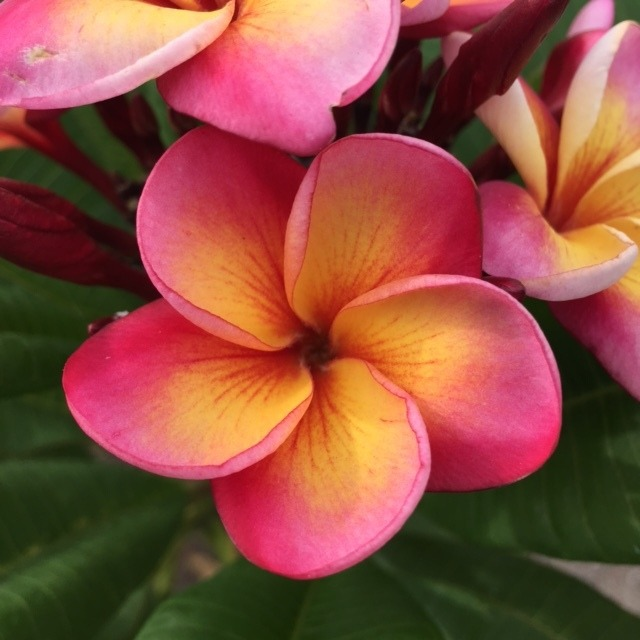 semilla plumeria frangipani flor de mayo 75 00 en mercado libre