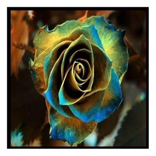 semilla rosa amarilla borde azul flores raras 10 semillas