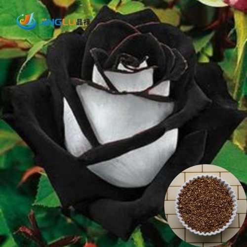 Semilla Rosa Blanca Borde Negro Flores Raras 10 Semillas 15000